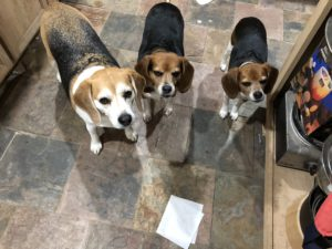 Now what beagles